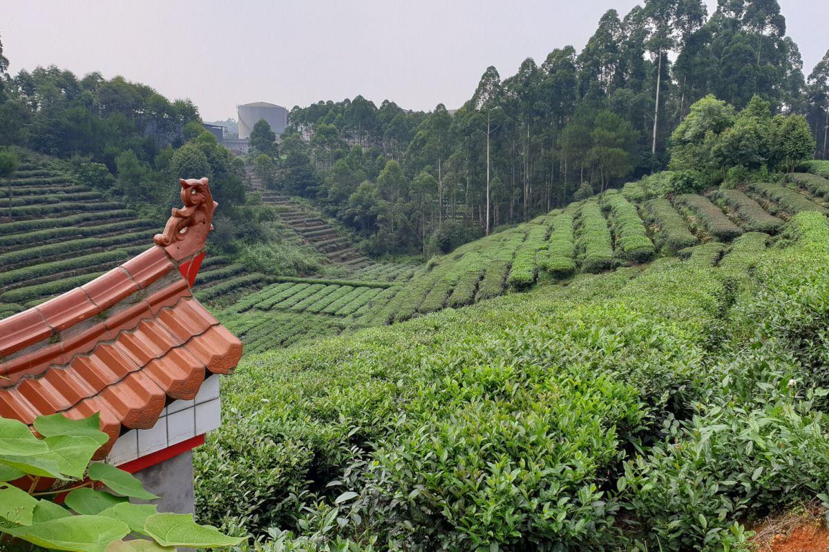 producción de té genmaicha