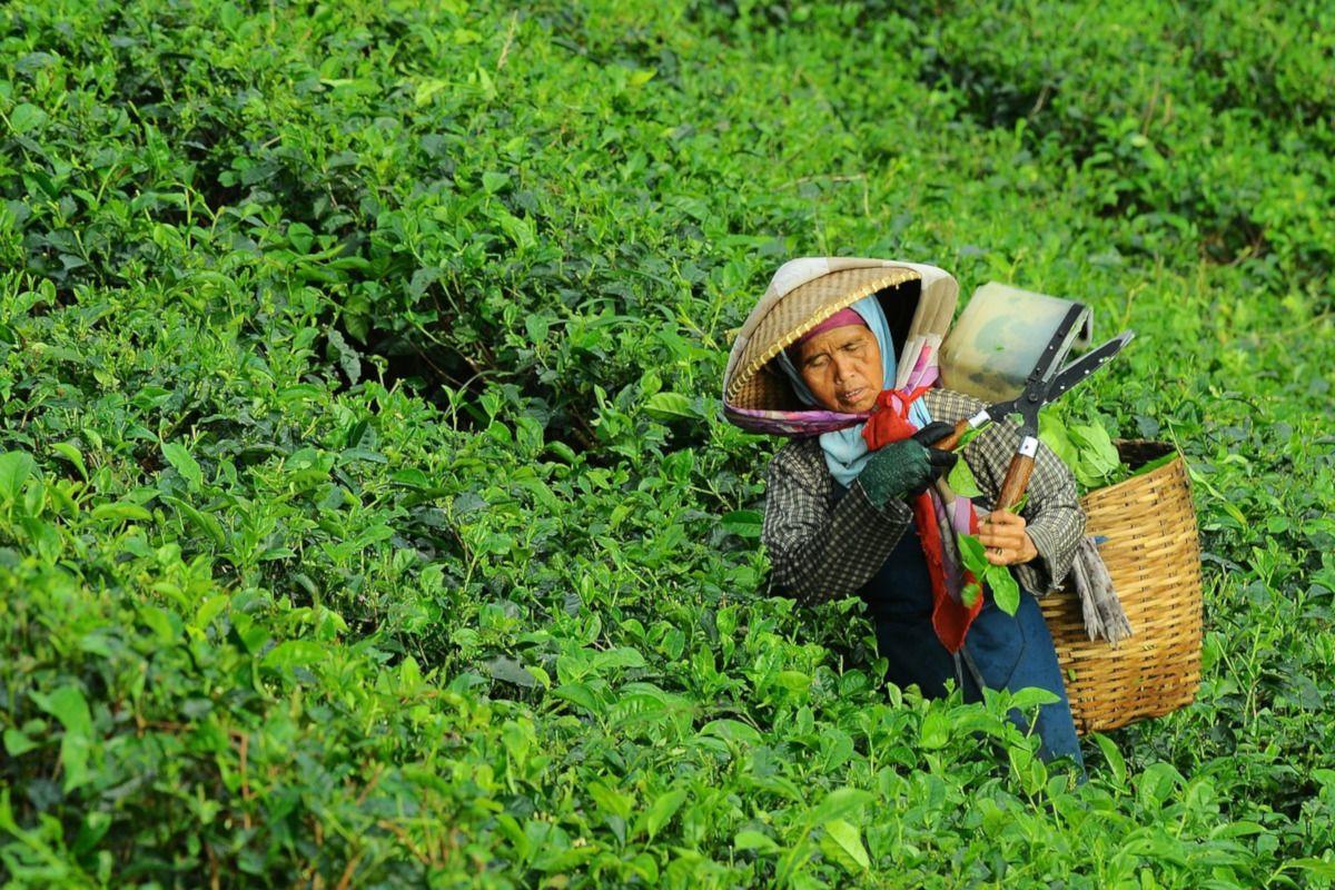 mujer cosechando té