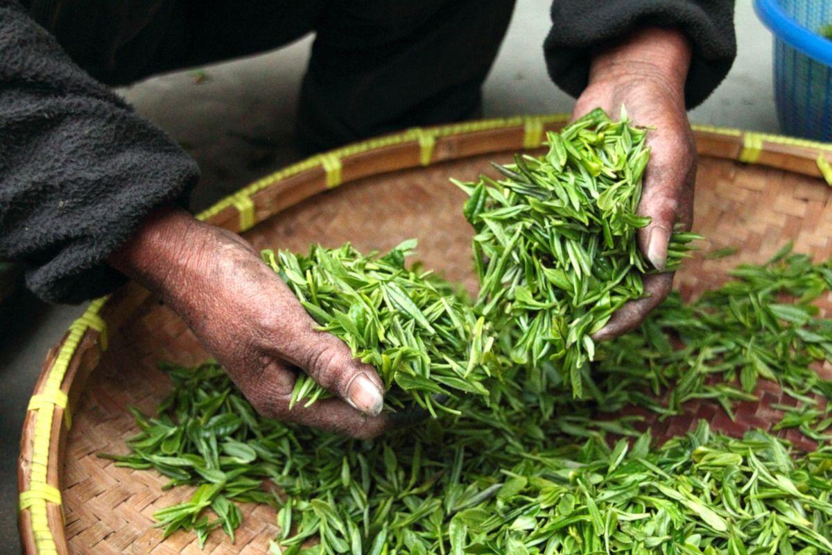 seleccionando té verde