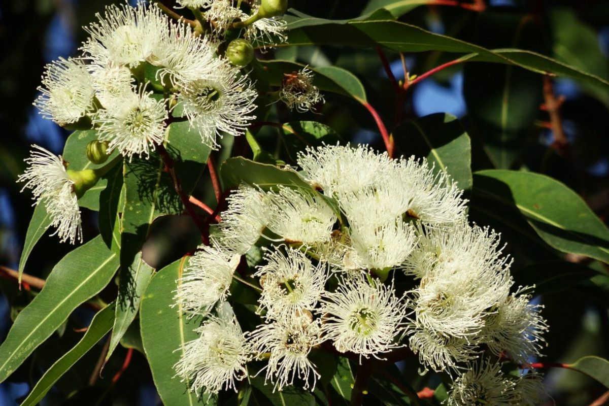flores de eucalipto