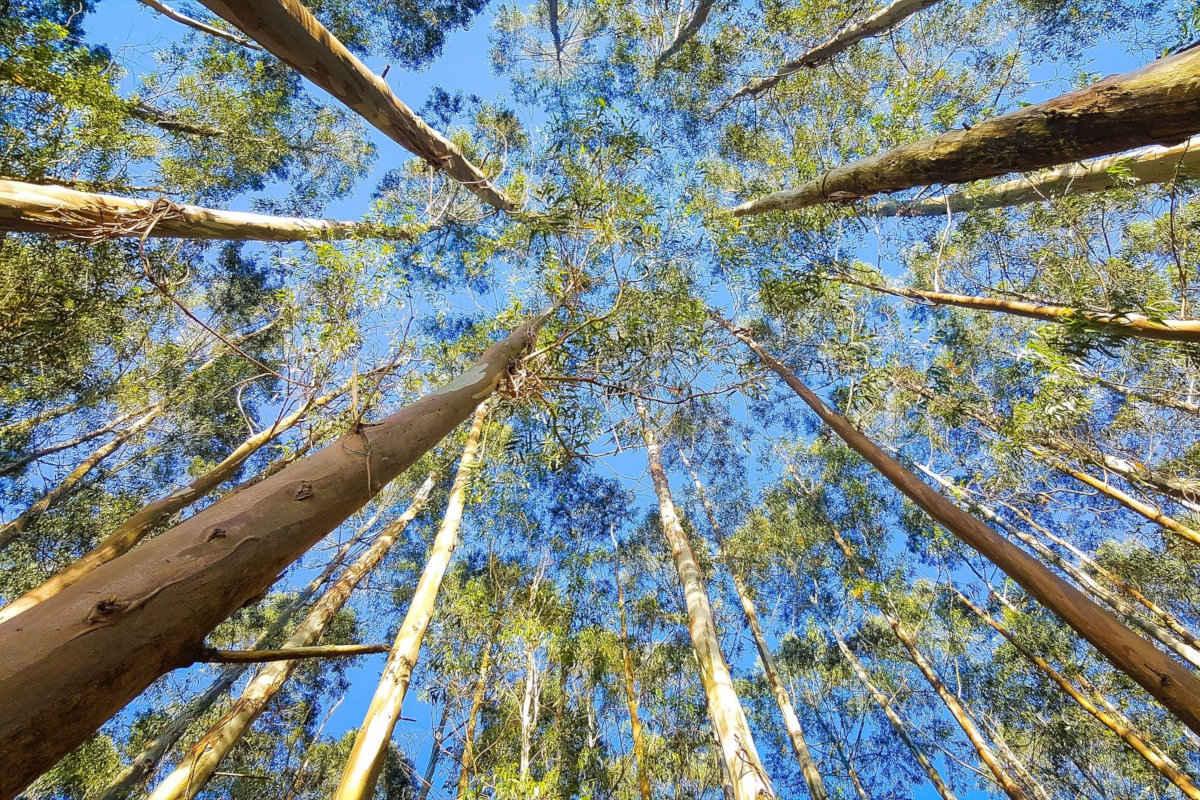 Todo lo bueno de la infusión de eucalipto