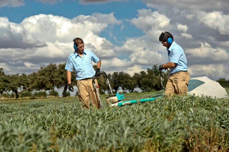 trabajadores en cultivo de plantas aromaticas