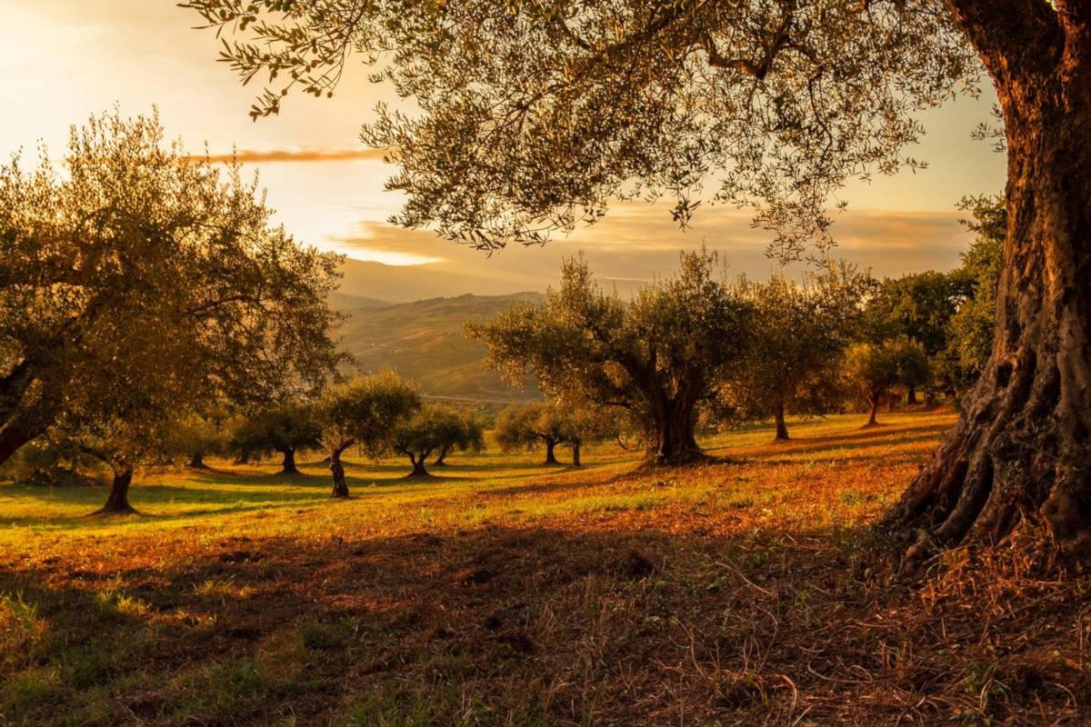 La larga lista de propiedades de la infusión de hojas de olivo