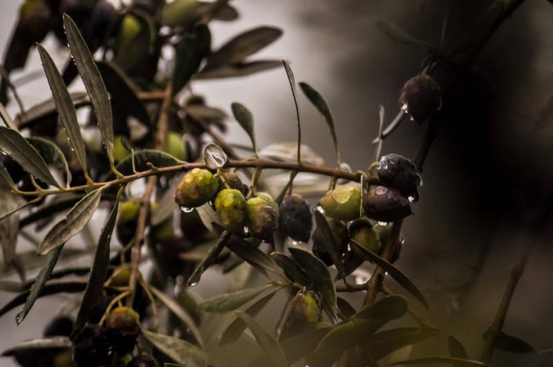 aceitunas en una rama de olivo