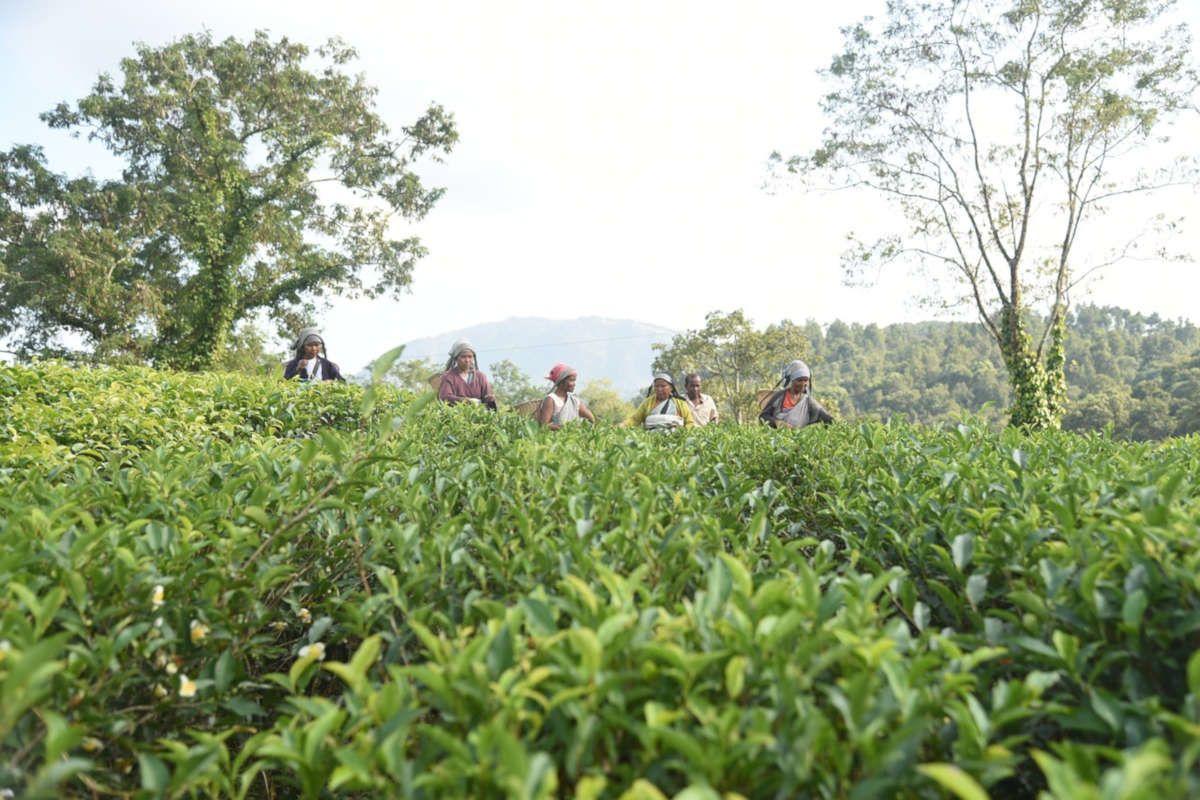 Mitos y verdades sobre la preparación del té
