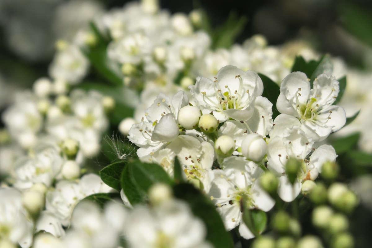 Infusión de espino blanco: descubre todas sus propiedades