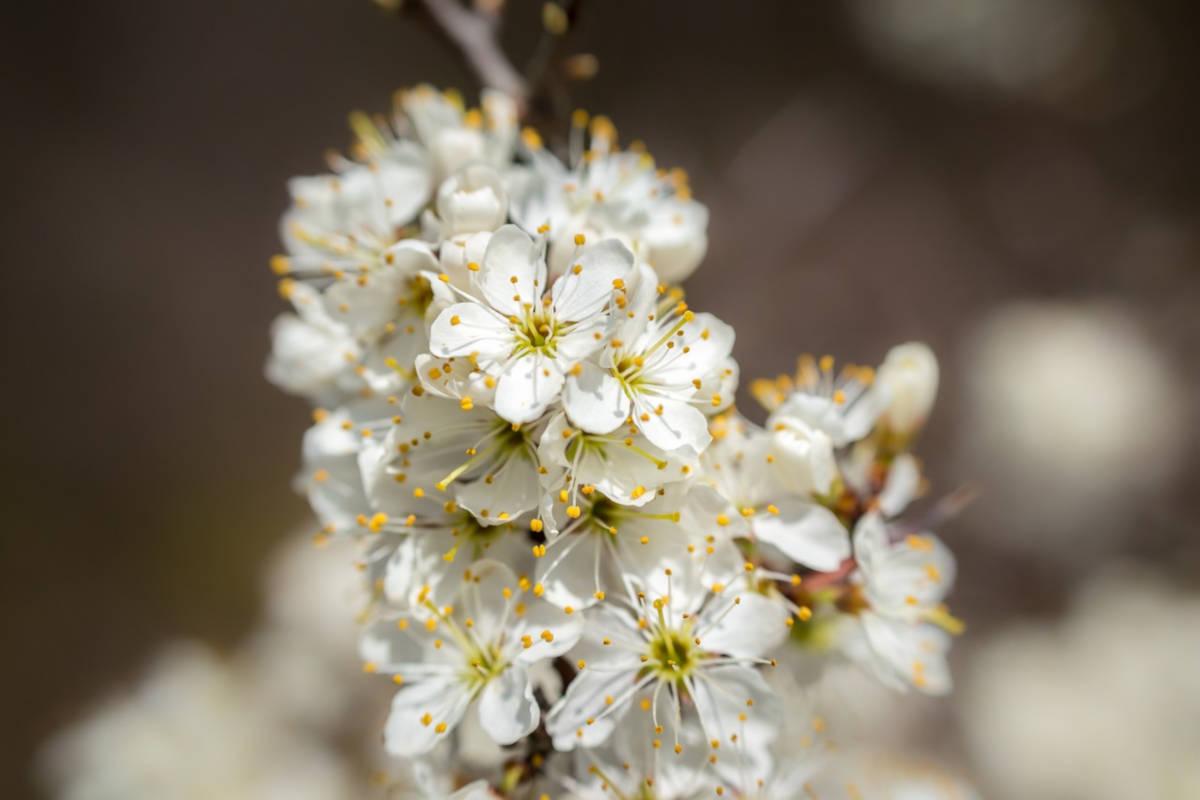 flor de espino blanco