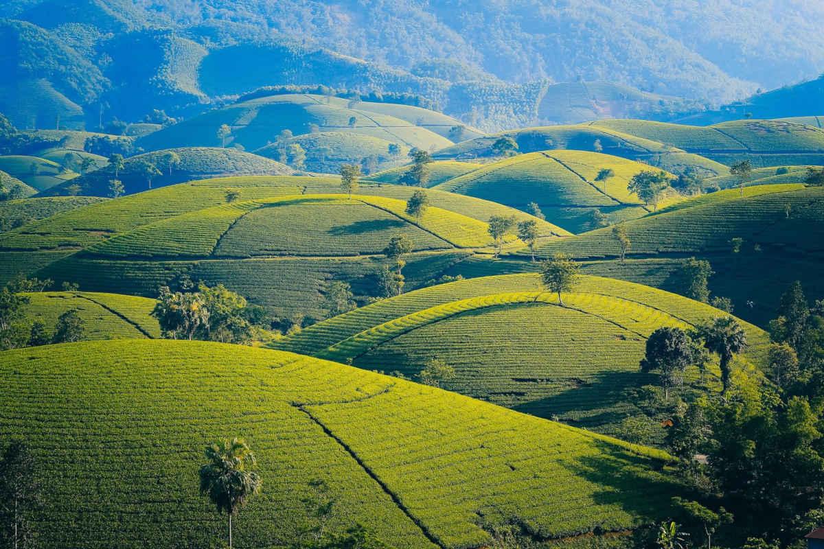 Camellia sinensis: un resumen para los amantes del té