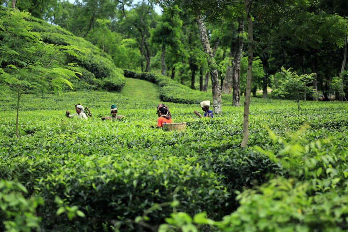 recolectando té en una plantación