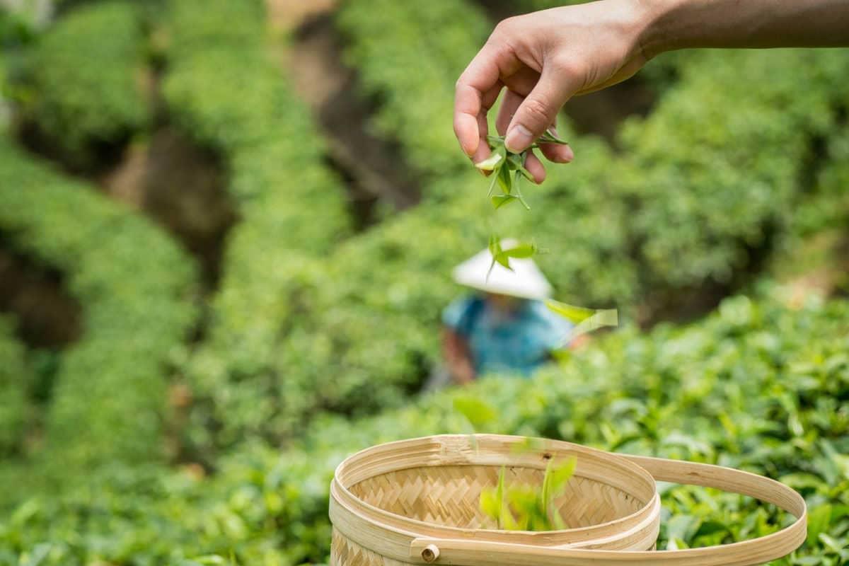 Un recopilatorio de los mejores tés verdes chinos