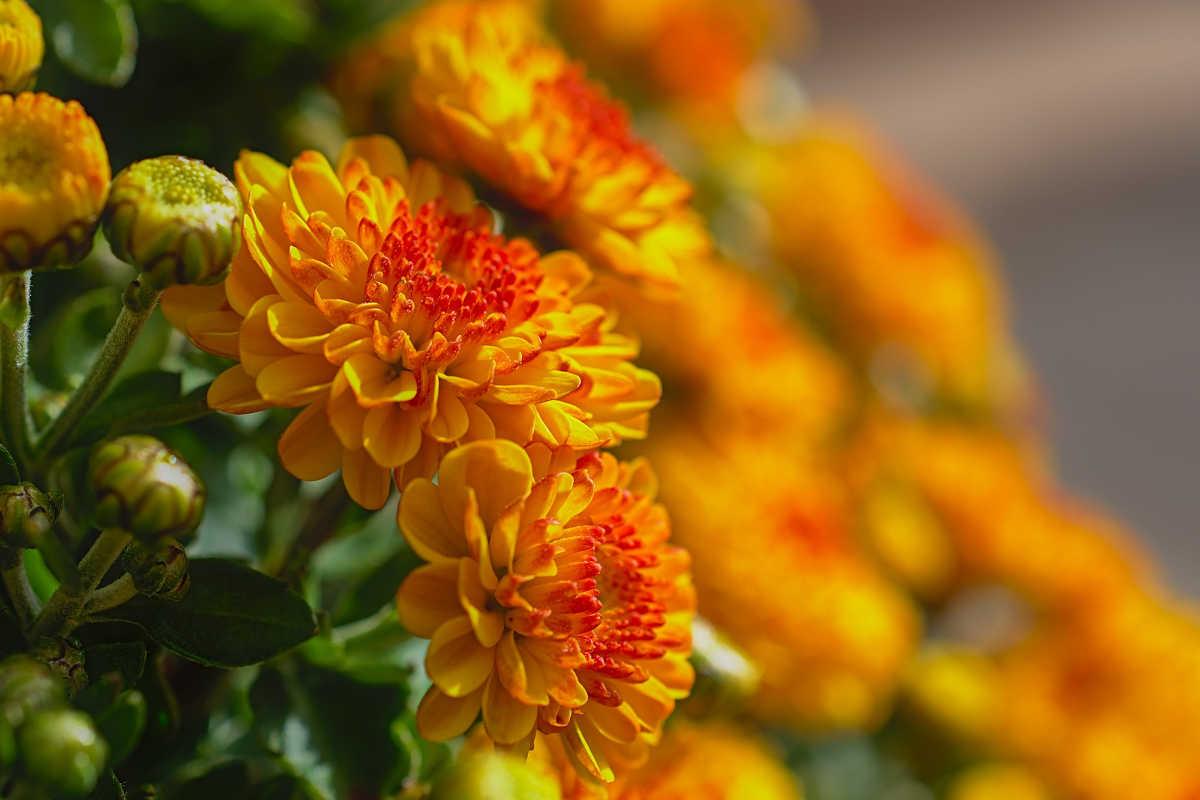 flores de crisantemo amarillas