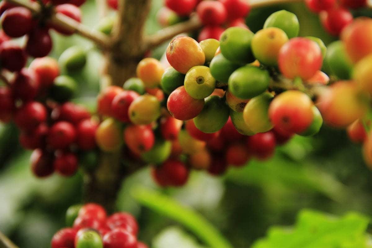 La lista de propiedades del café verde