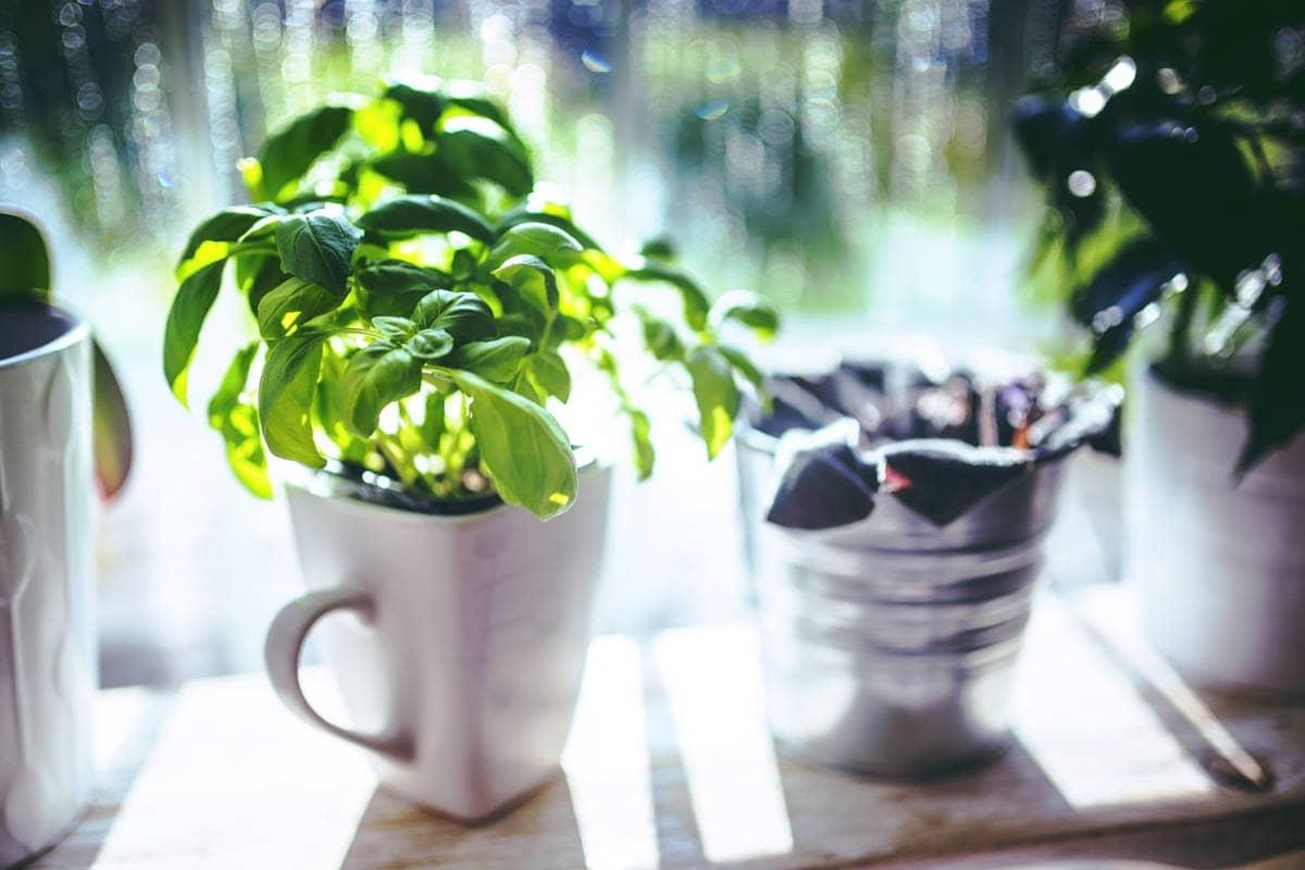 Los beneficios del té de albahaca