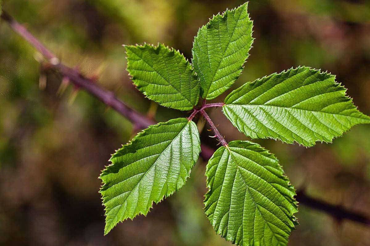 Las propiedades de la infusión de hojas de mora