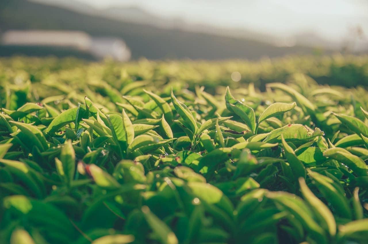 Disfrutando un gran té chino: Dianhong