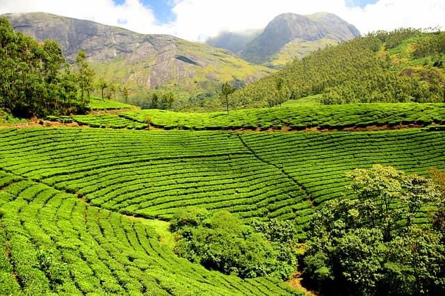 plantación de té con montañas de fondo en la India