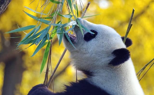 panda comiendo hojas de bambú