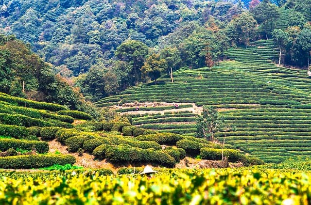 huerto de té en China
