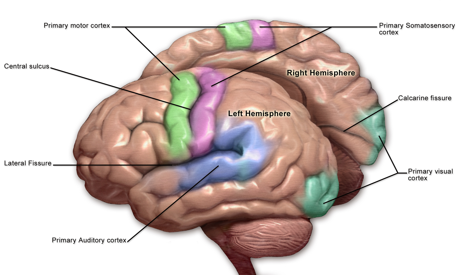 Diagram of the brain featuring the cortexes related to the different senses