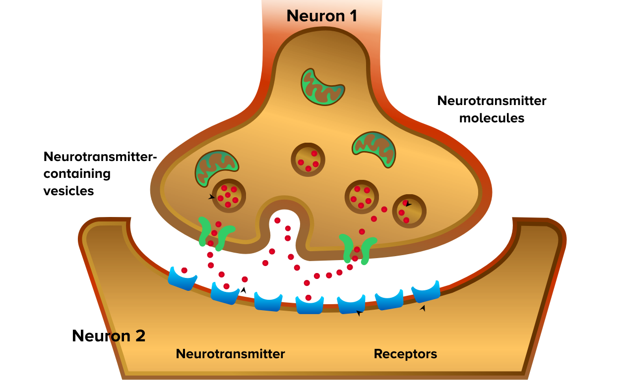 How neurotransmitters communicate with each other in the brain.