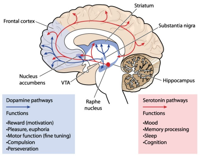 Illustration depicting dopamine and serotonin pathways in the brain.