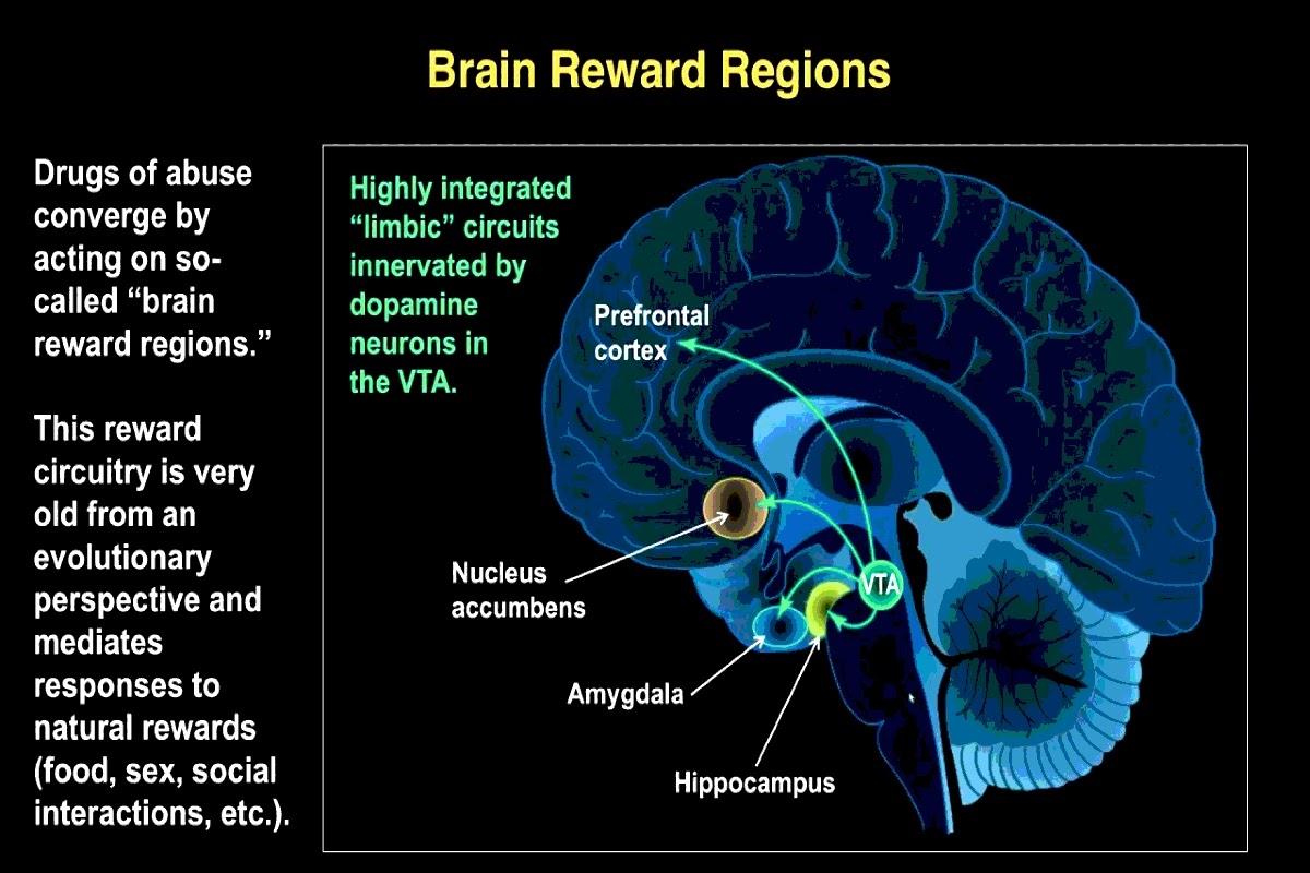 chart of brain reward regions