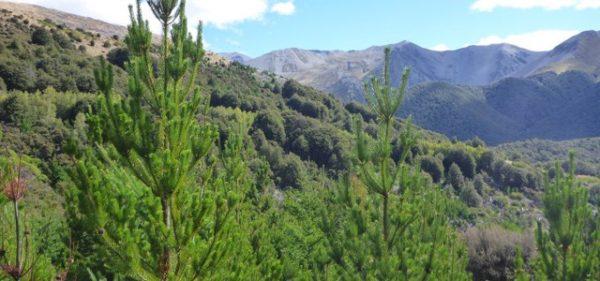 Den höga graden av invasivitet av contorta på södra halvklotet tyder på att den bör övervakas och studeras mycket noggrant här i Sverige för att förhindra att liknande invasioner uppstår här, säger Michael Gundale, institutionen för skogens ekologi och skötsel. Foto: Journal of Ecology