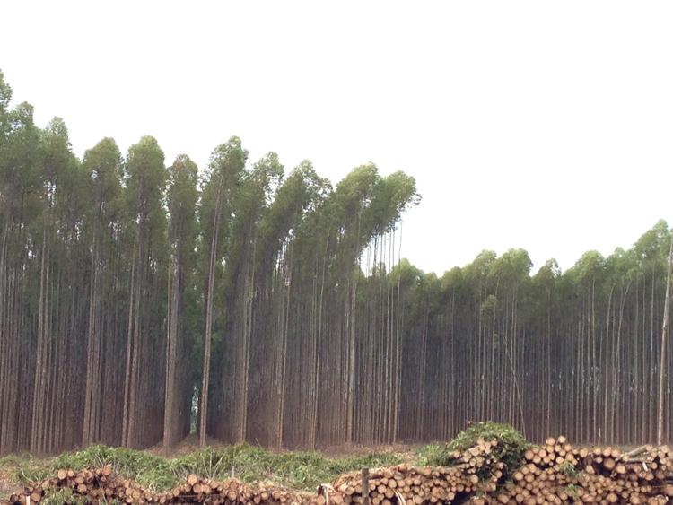 Eucalyptusplantering