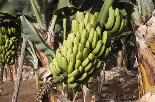 Bananas Canary Islands