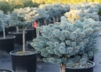 ornamental varieties and conifers we have the conifer and ornamental trees to fit your landscaping needs - Garden Gate Nursery