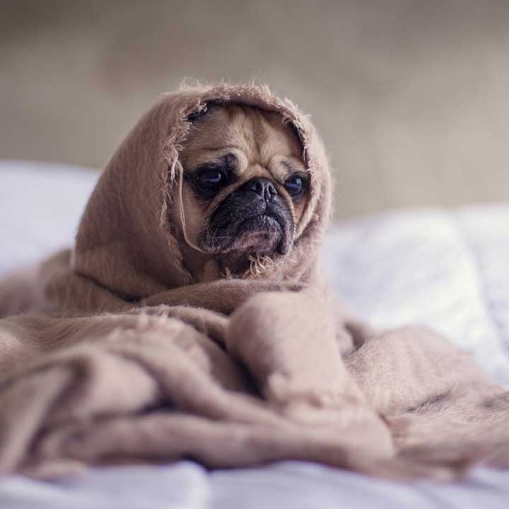 Cute little pug wrapped in a blanket Instagram Picture Fauna Care