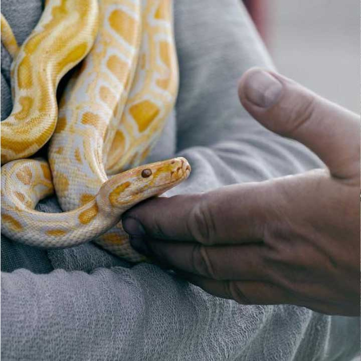 Little yellow snake in someone's hands Instagram Picture Fauna Care