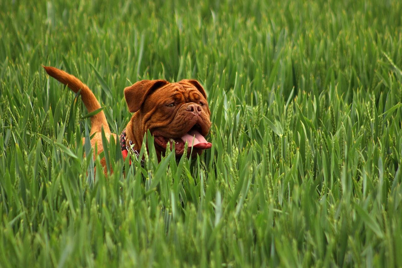 a copper colored bulldog exploring the tall grass