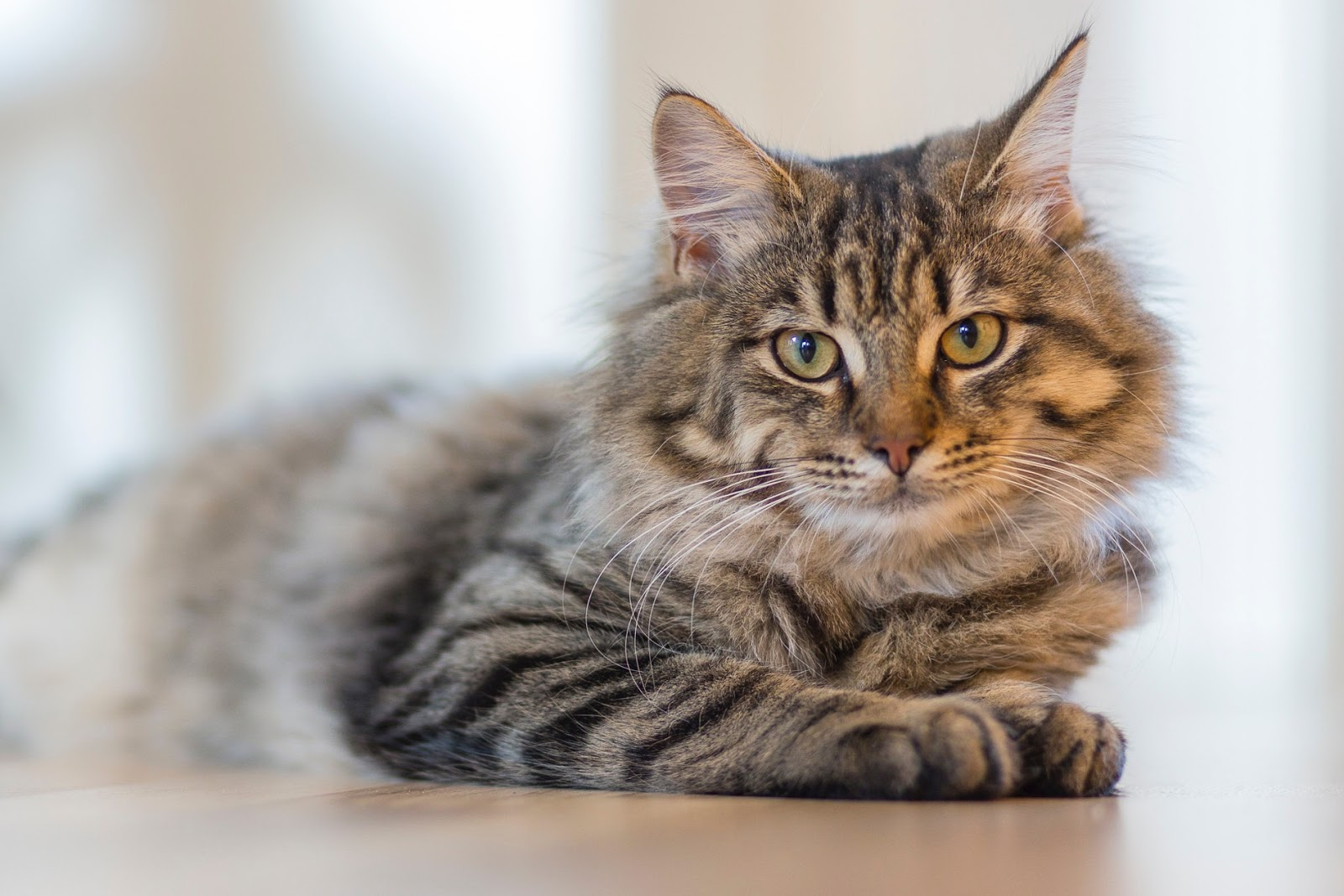 Common Cat Skin Conditions and How To Treat Them