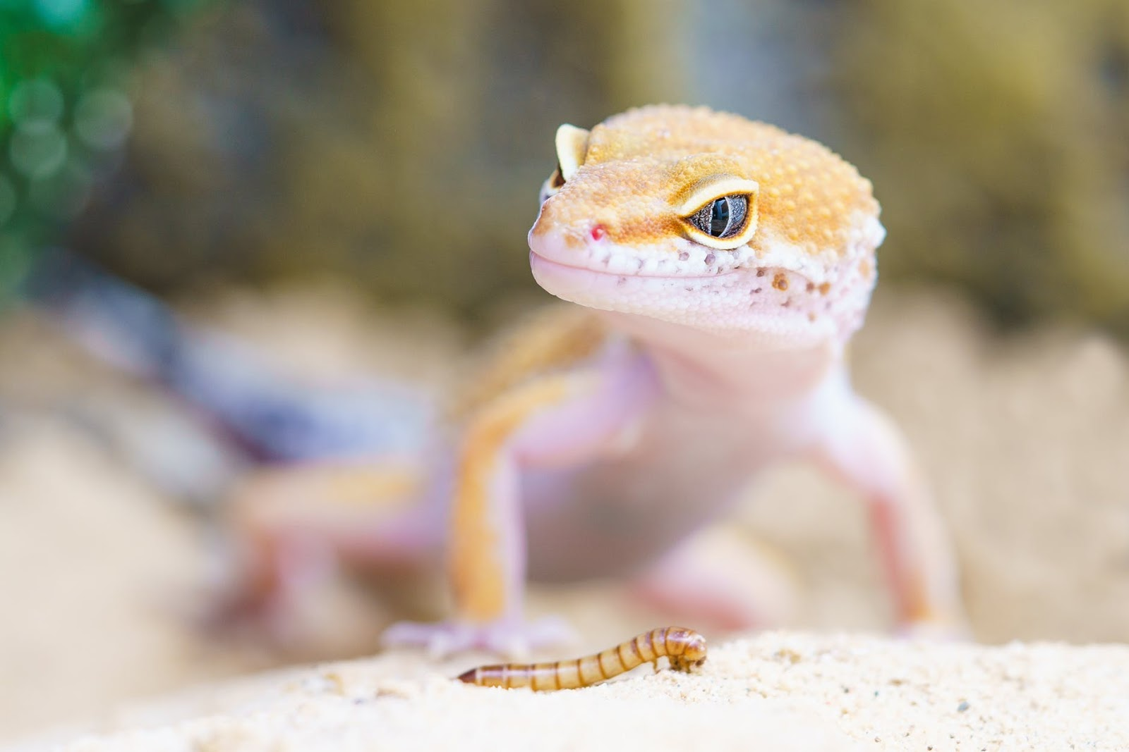 How to Care For Cuts and Abrasions in Reptiles