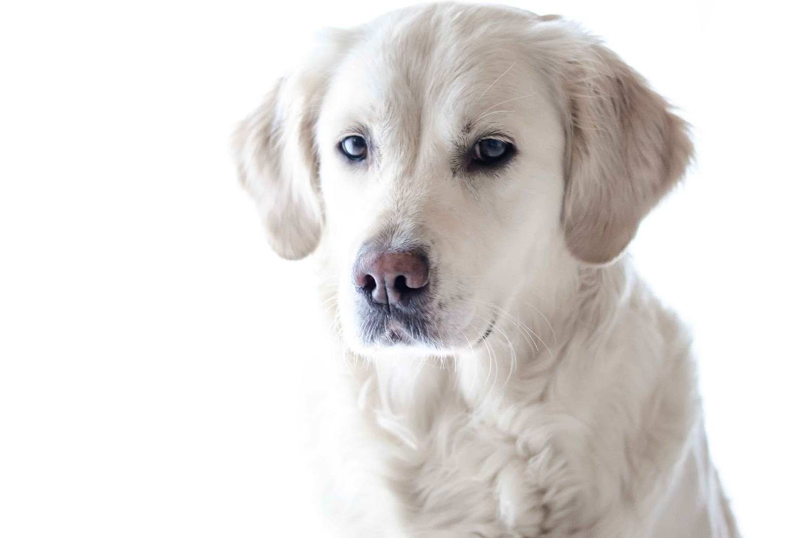 a white lab against a white background