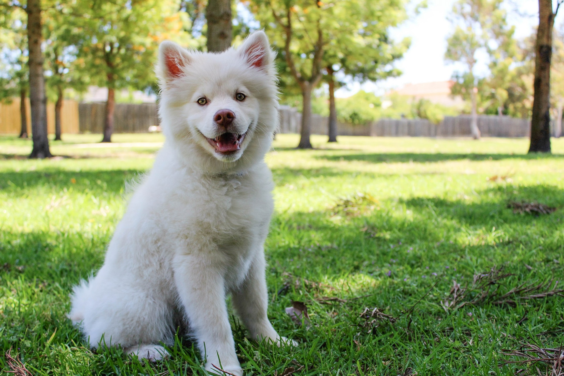 a fluffy white dog sitting outside