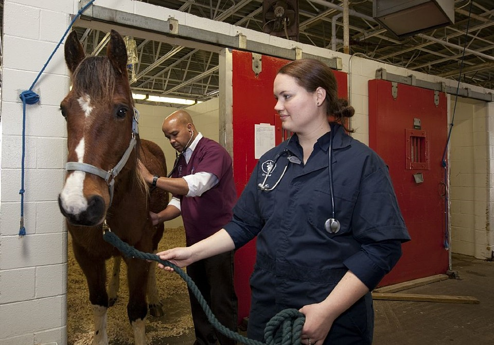 horse getting skin checked by vets