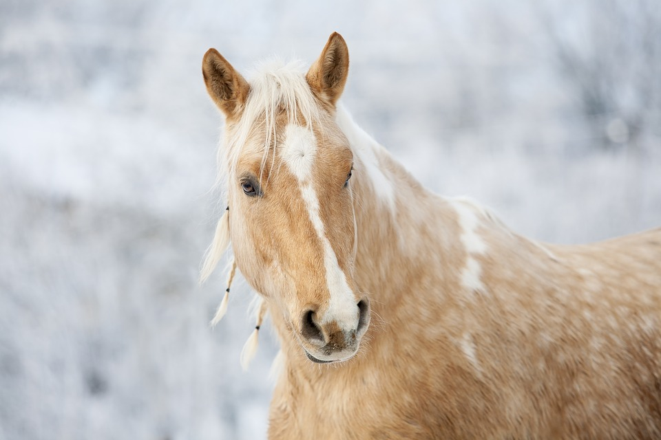 groomed horse with braids in mane