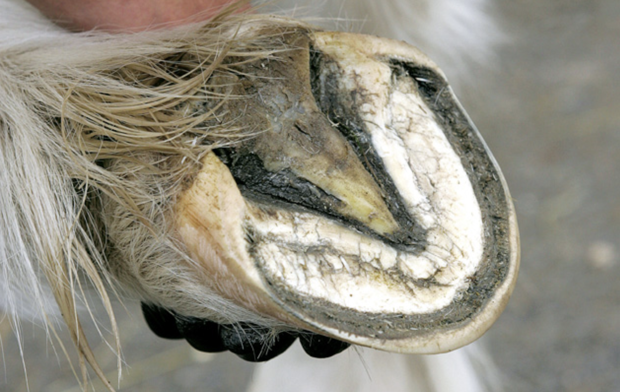 horse hoof with thrush