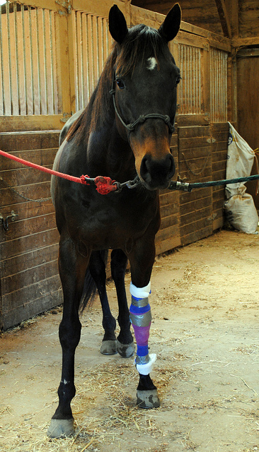 horse with injured leg and cast