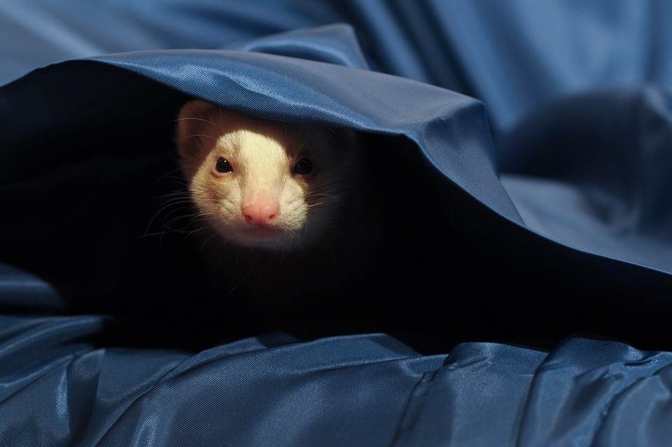 ferret peeks out from under covers