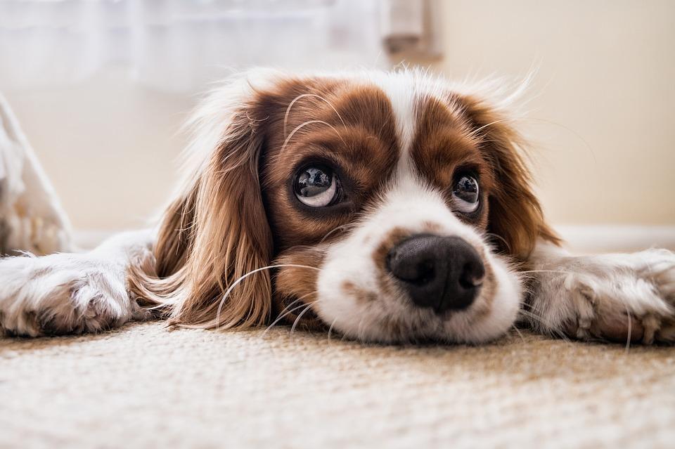 dog with big eyes