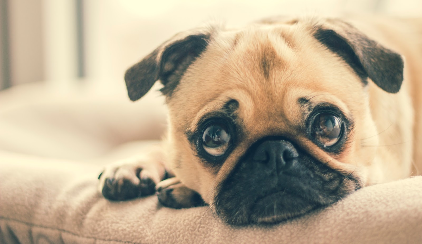 pug with sad face and big eyes