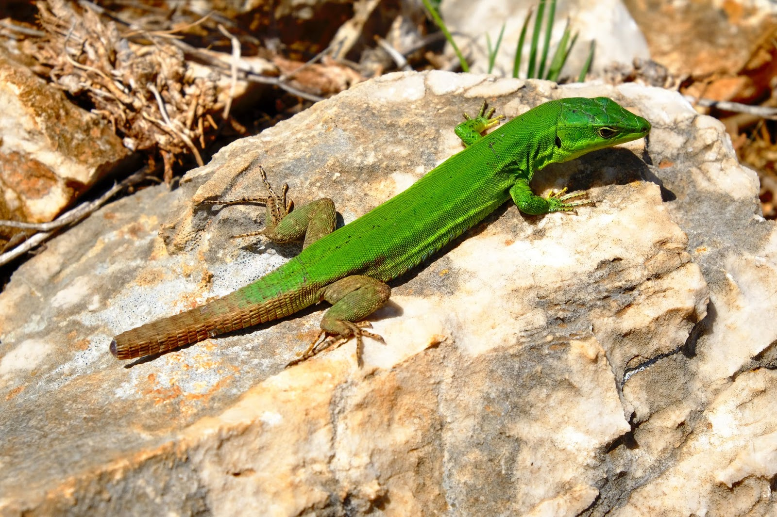 bright green lizard on rock
