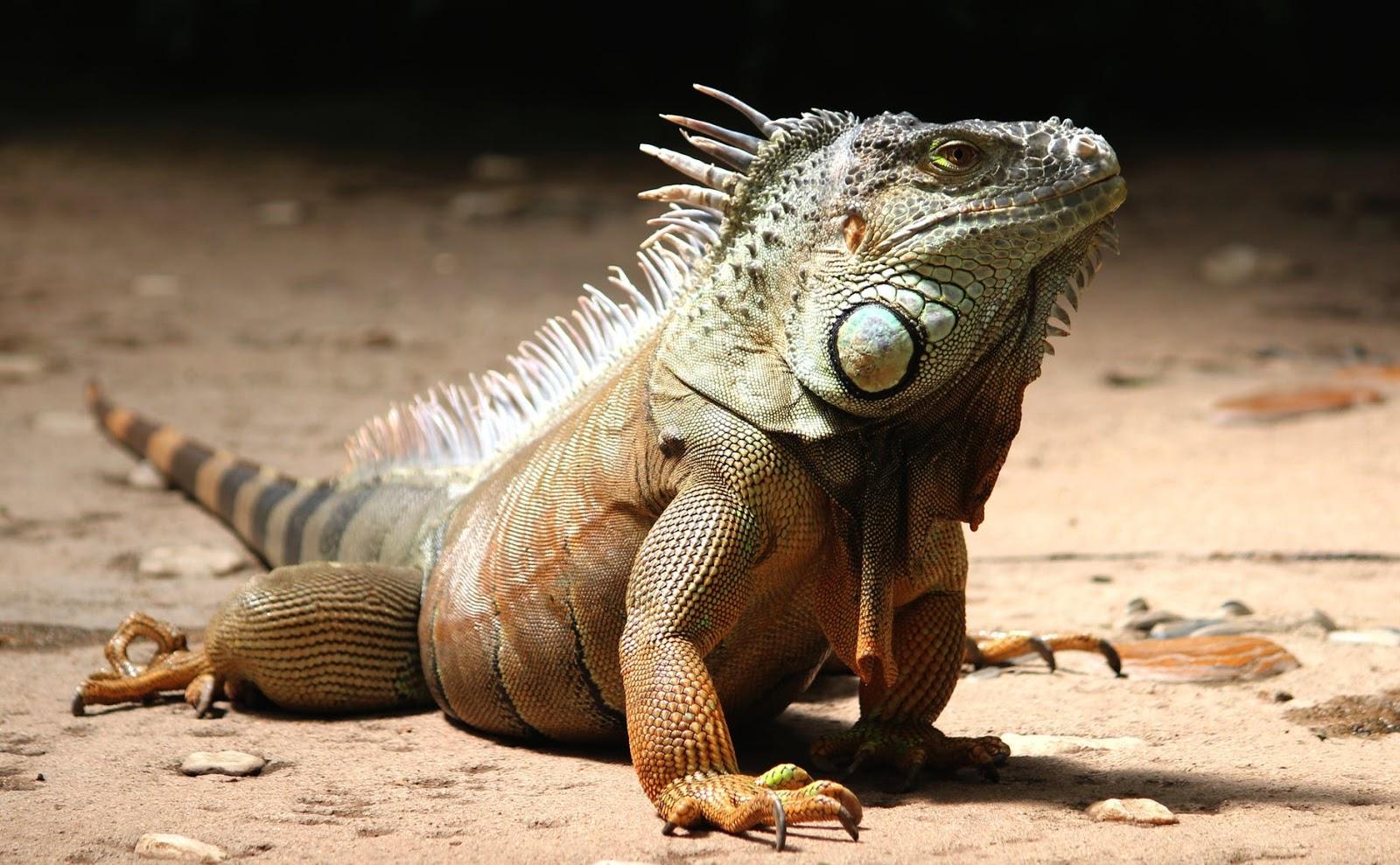 lizard in sand
