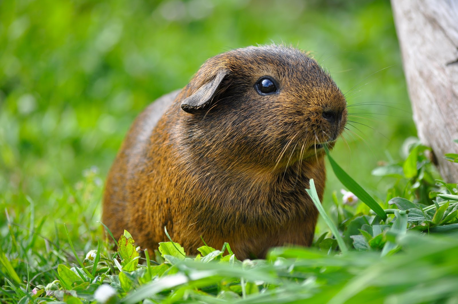 guinea pig in grass