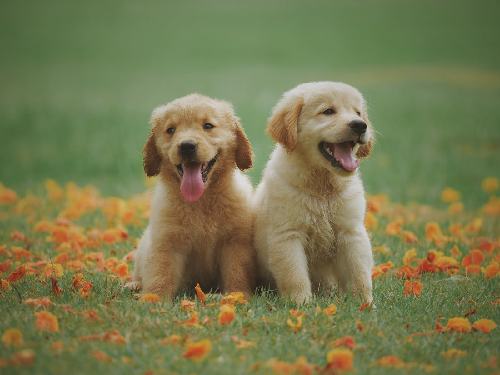 happy puppies in grass