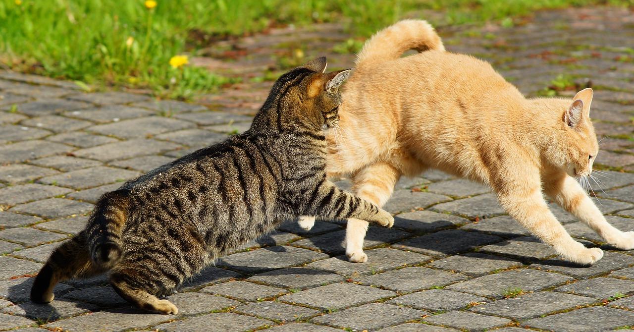 cat chasing aggitated, puffed cat