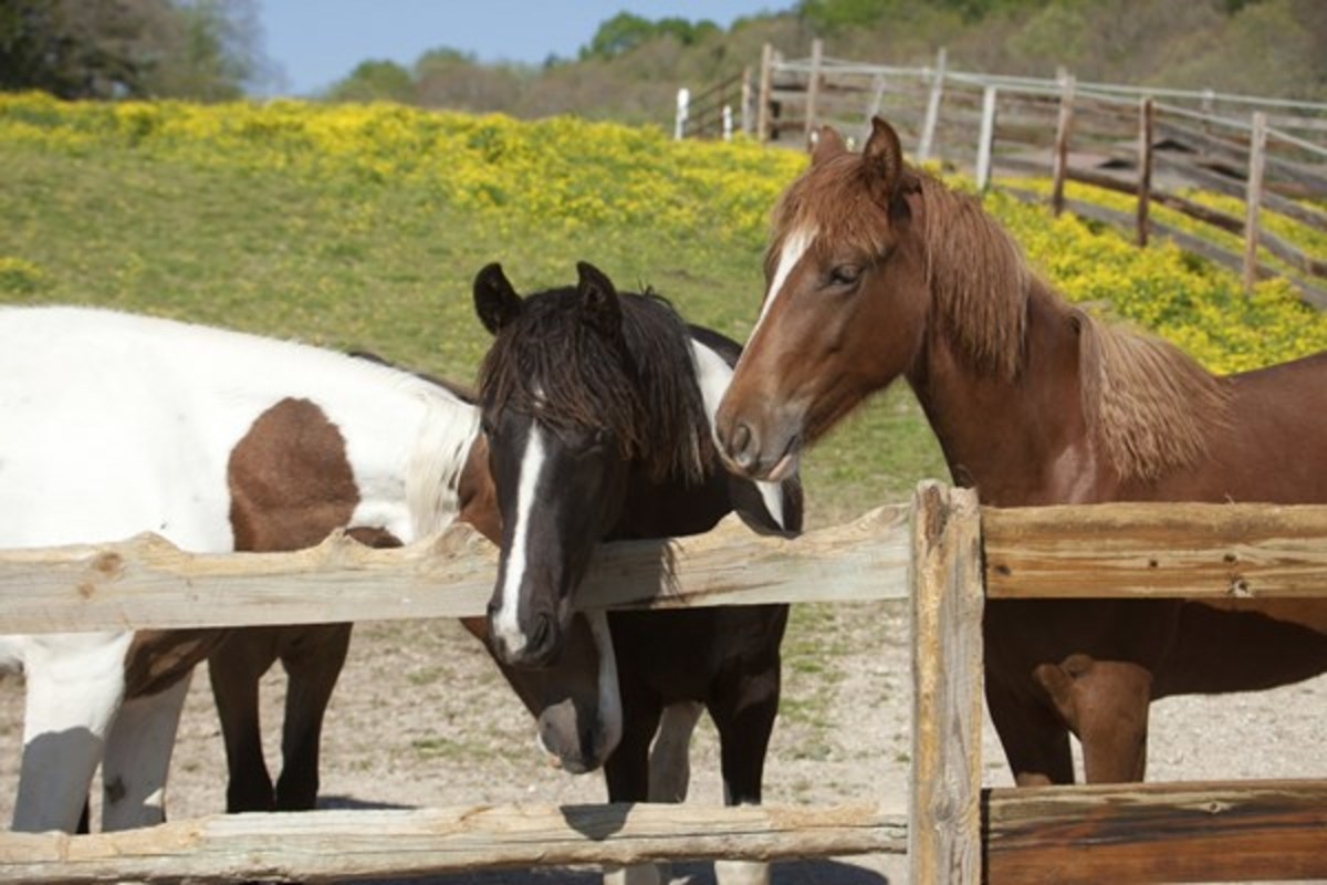 horses lean over wooden fence